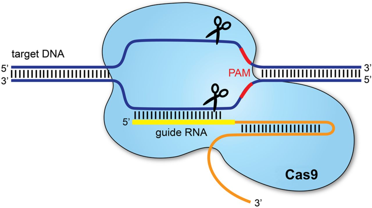 This diagram illustrates how CRISPR technology, as in the case of the genetically modified twins, allows for DNA to be manipulated.